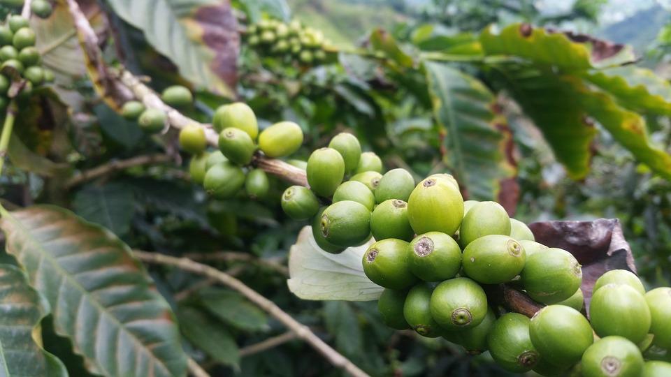 القهوة الكولومبية وكل ماتحتاج معرفته عن البن الكولومبي زراعة القهوة ومصادرها مجتمع القهوة